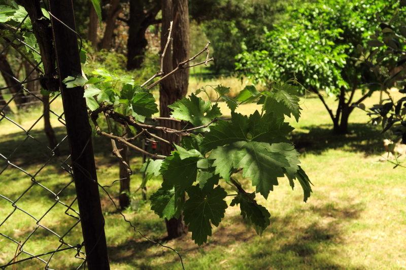 A grape vine!